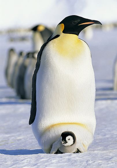 Cute baby emperor penguin - photo#24