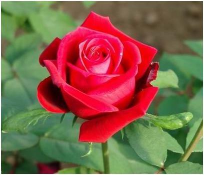 flores y plantas hermosas significado de las rosas