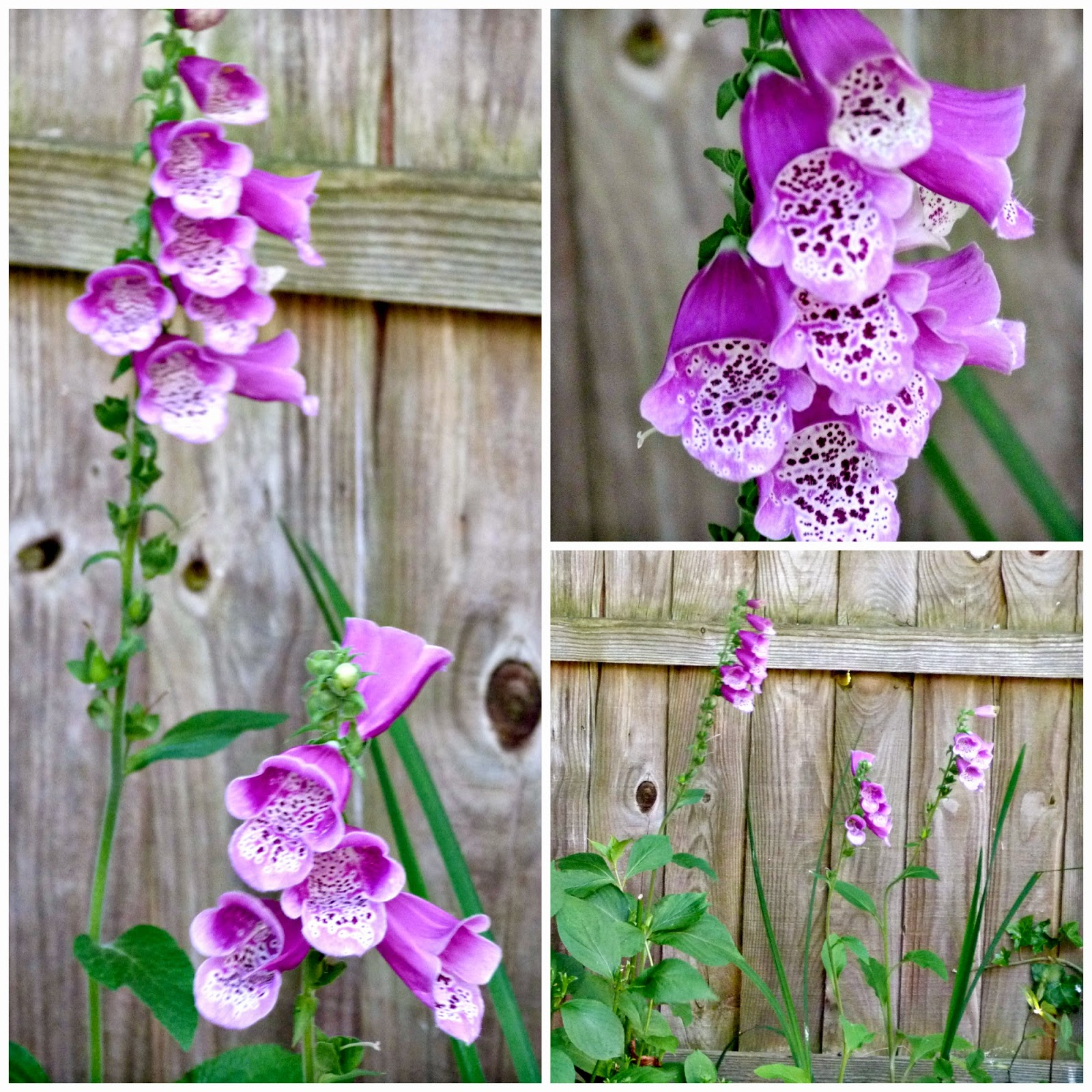 Foxgloves from Plant Me Now