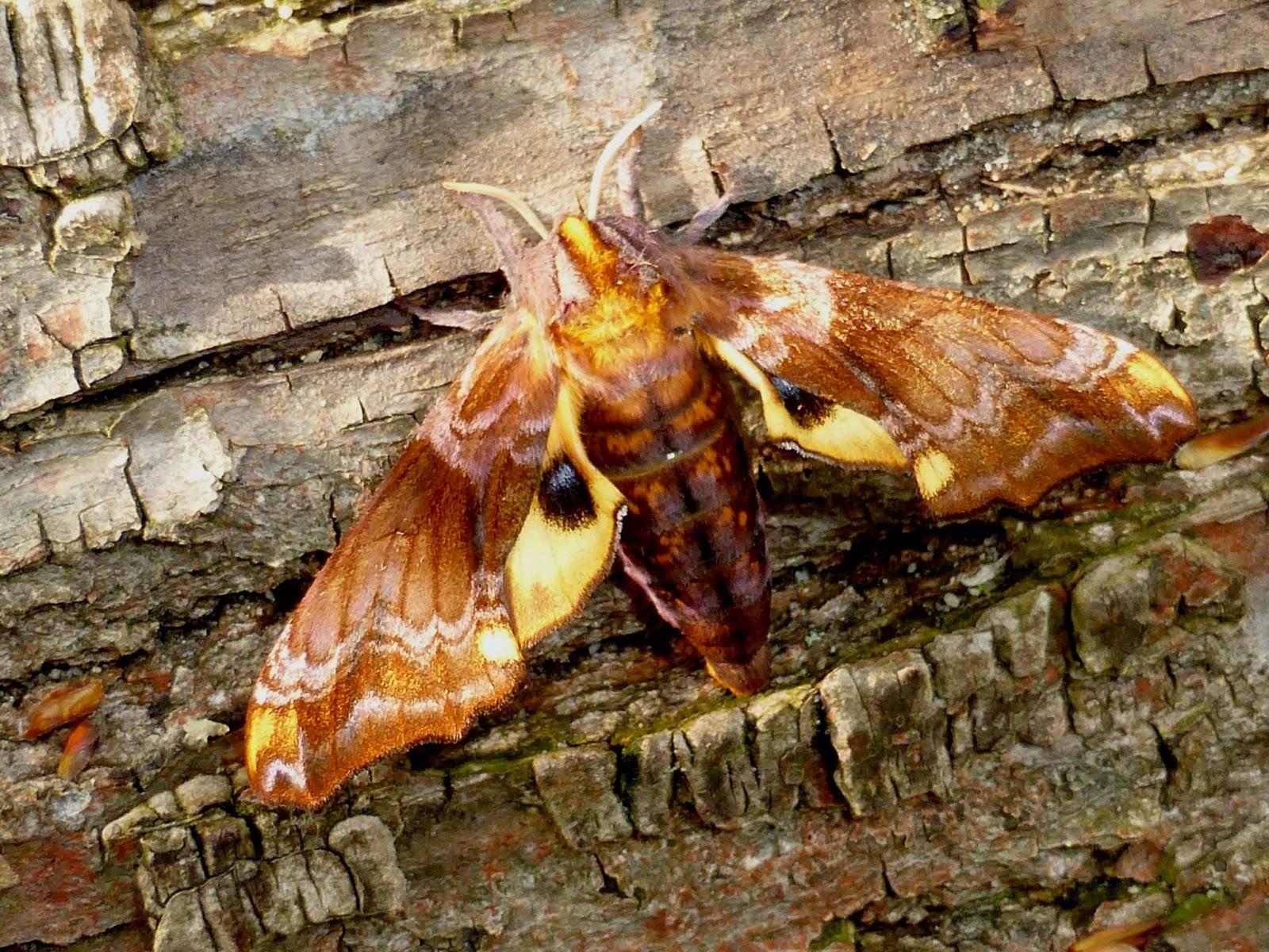 Paonias myops female