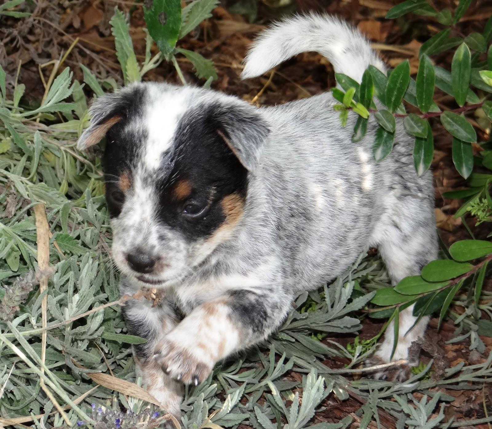 Queensland+Heeler+Breeders+In+California Queensland Heeler Dog Rescue ...