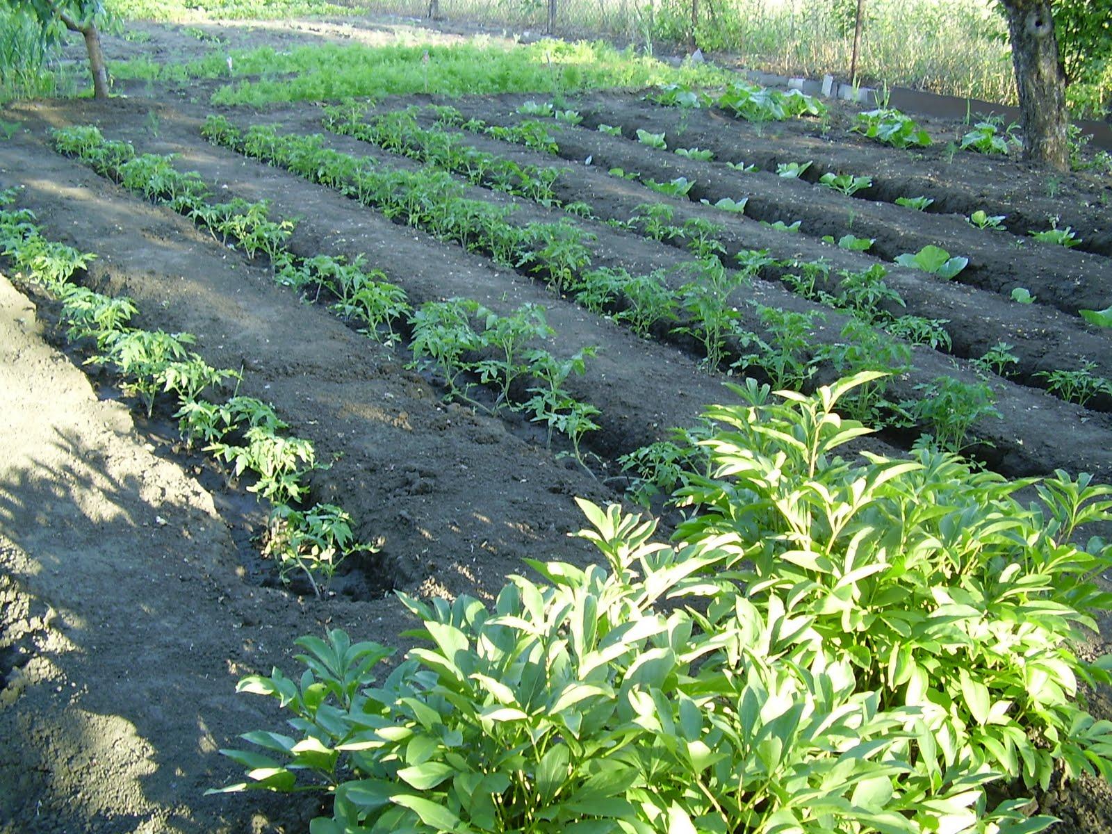 Рассадный способ выращивания помидоров 90