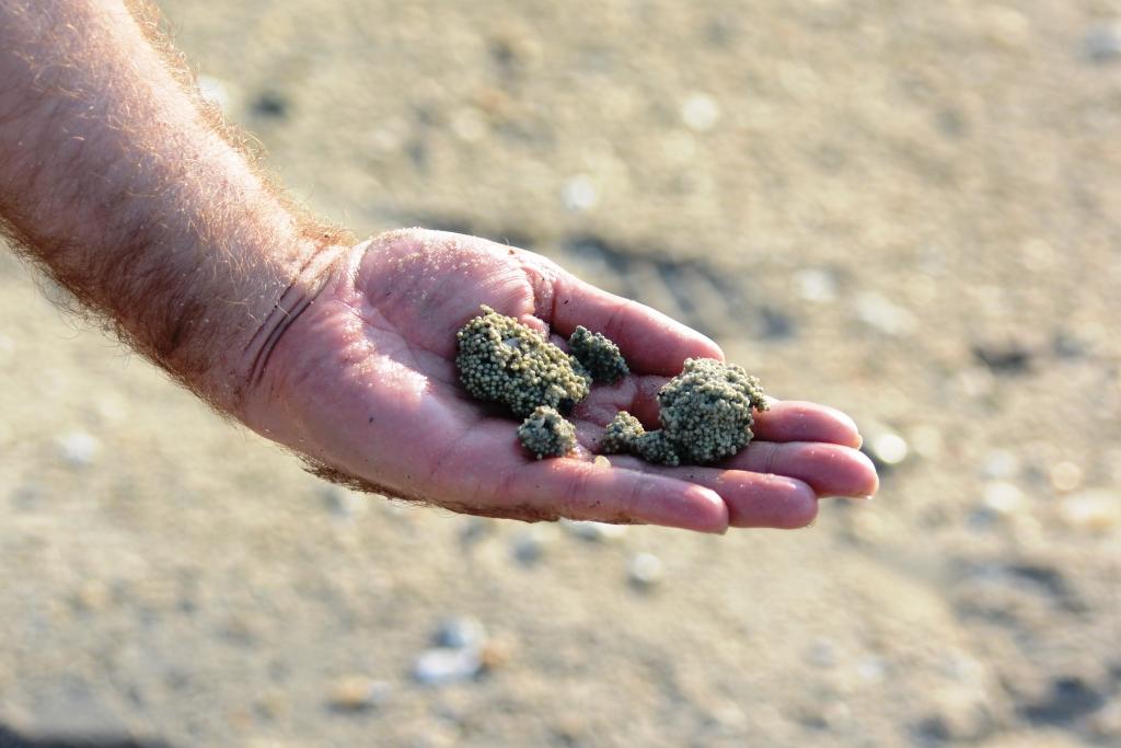 Horseshoe Crab Hatching Horseshoe Crab Egg Clusters