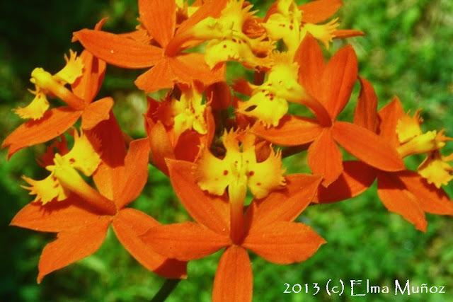 Epidendrum radicans 2013 (c) Elma Muñoz