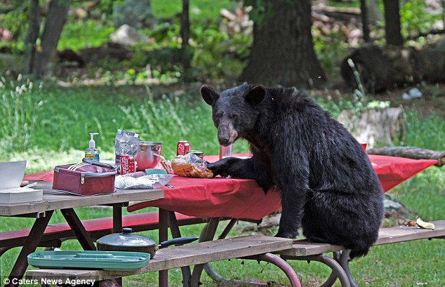Exceptionnel Caught Red Handed: The Bear Tries To Claw Out Anything Left In Packets Left  Behind By Terrified Diners U0027