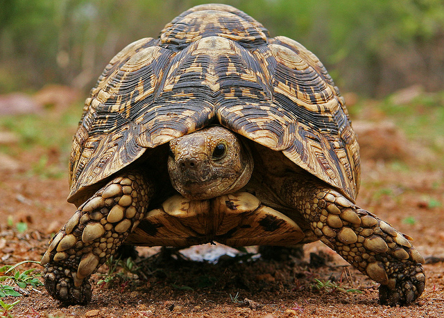 How to Care for a Leopard Tortoise foto