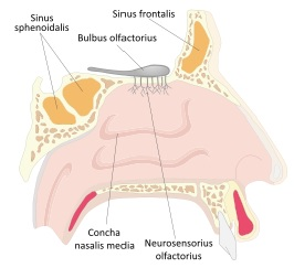 Dibujo de la nariz del cuerpo humano indicando sus partes (Vista lateral o de perfil)