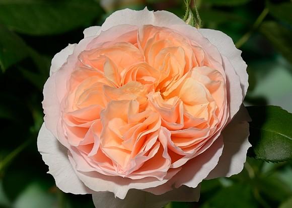 Xavier de Fraissinette rose сорт розы фото
