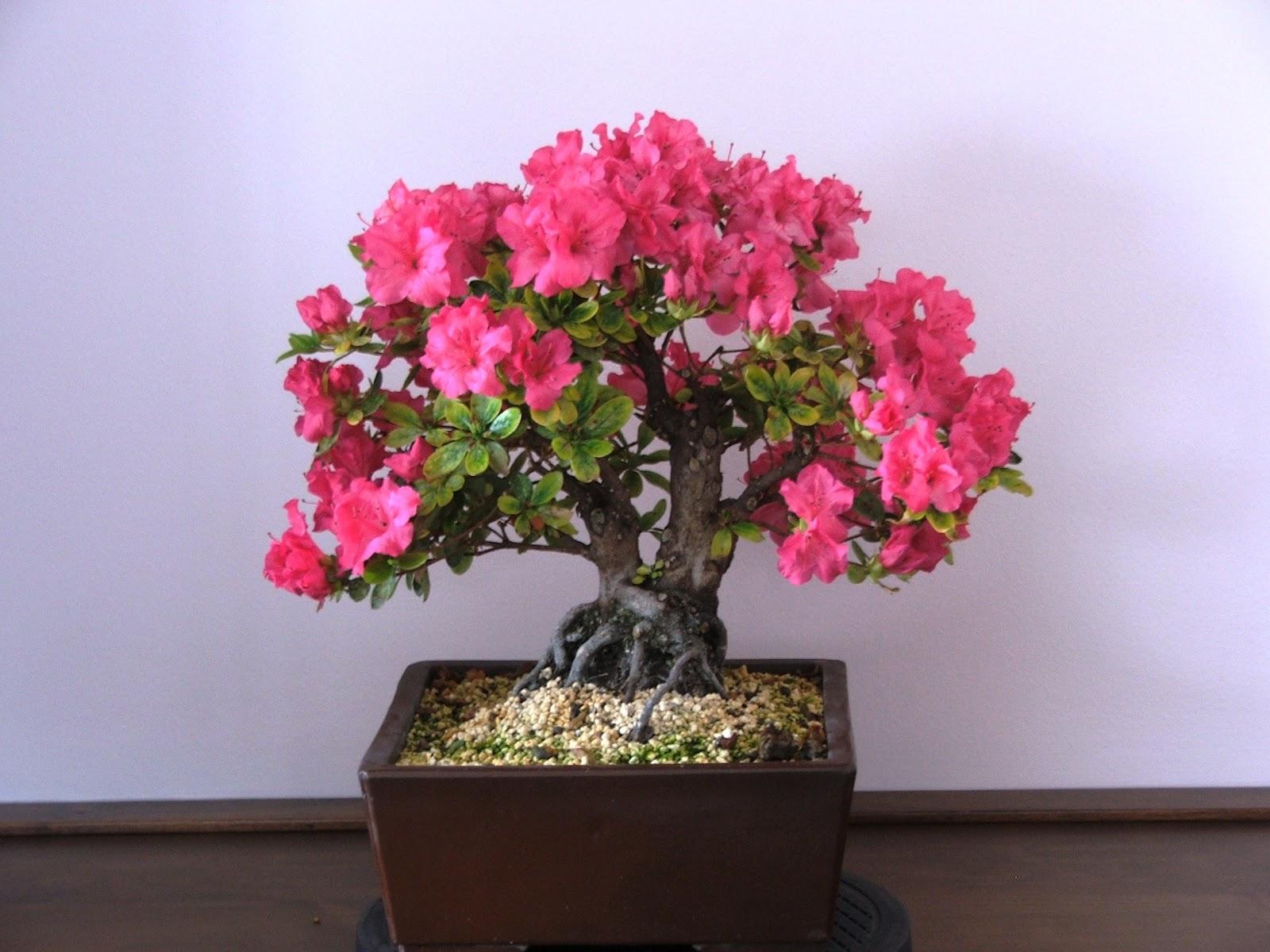 Evoluzione Bonsai Bonsai Di Azalea Rhododendrum