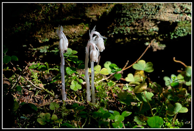 Nova Scotia; Gaff Point; Fungus; Indian Pipe