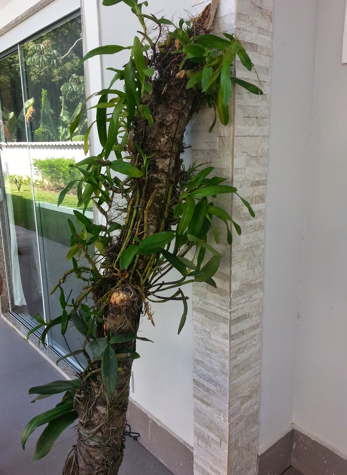 Paixão por orquídeas Meu orquidário: Minha Phalaenopsis  #475E32 1172x1600
