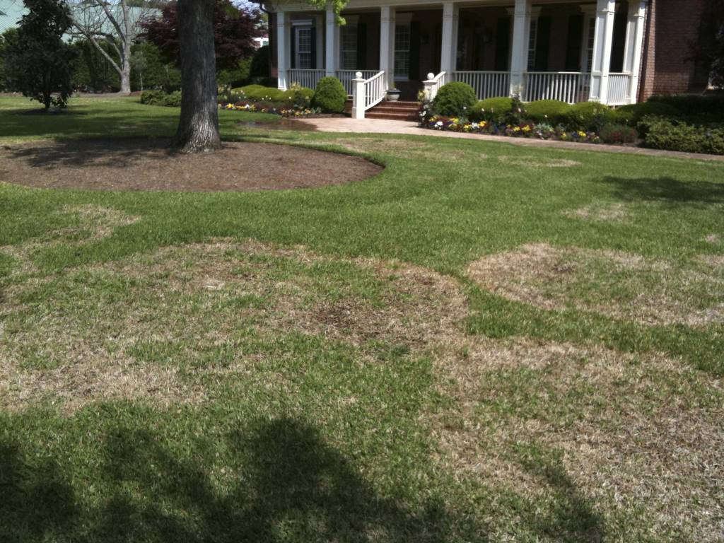 A yard with St. Augustinegrass damaged by large patch
