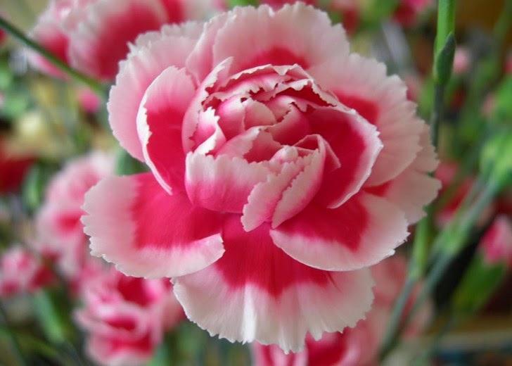 Anyelir (Carnation) : Nama Tanaman