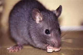 tikus penyebar sampar