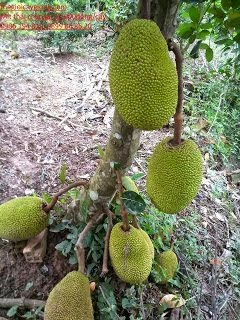 Mít Thái changai