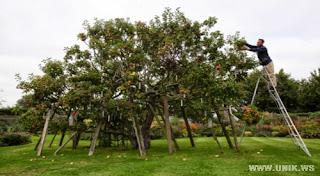 Pohon Unik, Hasilkan 250 Jenis Apel Berbeda