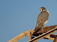 HD desktop wallpaper falcons collection (1)