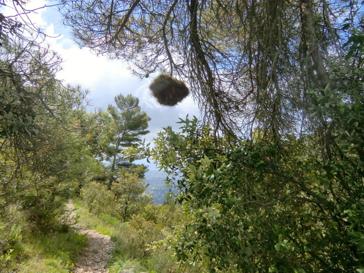 What is this ball on a pine tree?