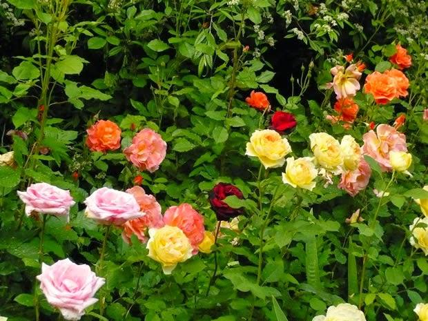 Flores e jardins plantas jardinagem e paisagismo agosto for Cancion jardin de rosas