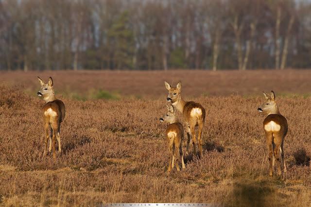 Sprong Reeën - Roe Deer - Capreolus capreolus