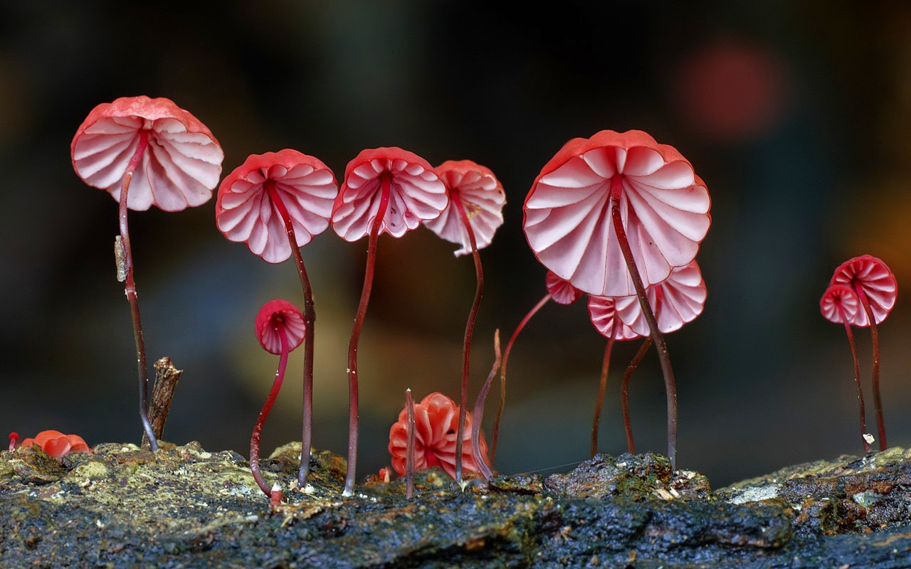 Yellow mycena Marasmius haematocephalus beautiful mushrooms photo
