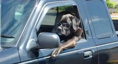 Dog ride a car like a Boss