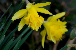 Cornish Daffodils