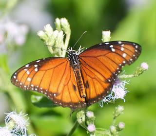 Soldier Butterfly (Danaus eresimus)