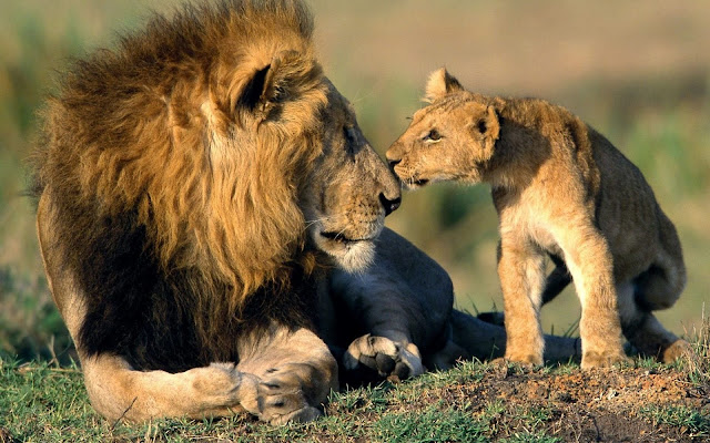 Old and Young Lion