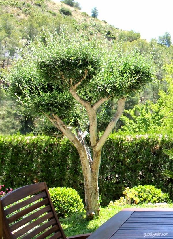 Mi truco para podar el olivo sin llenar el c sped de hojas for Jardin que planter en janvier