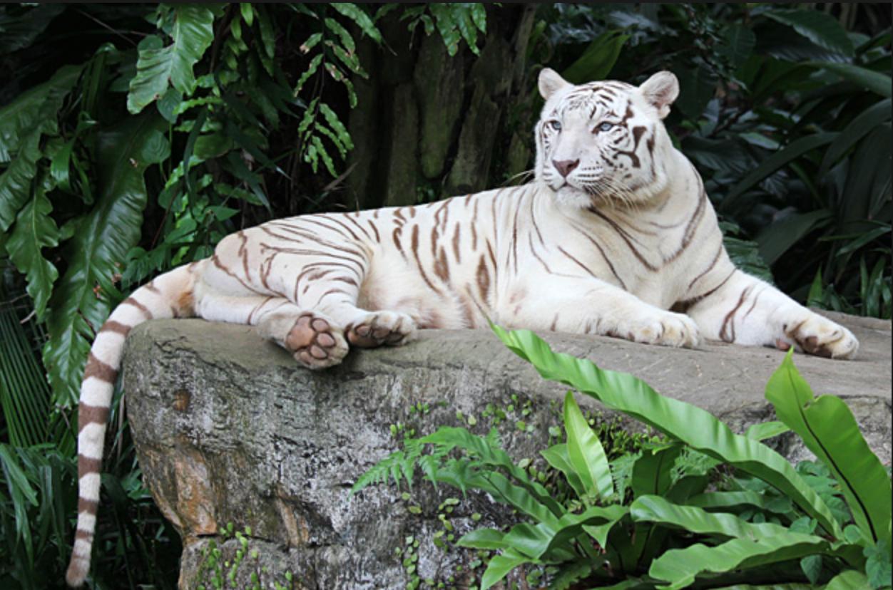 Satw canada travelling teddy bear blog maurice singapour - Photo de tigre a imprimer ...