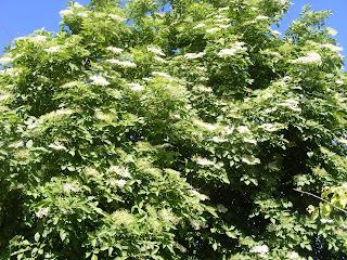 soc, soc inflorit, socul, pom soc, copac soc, planta soc, floare soc, plante medicinale, fruct soc, flori soc, florile socului, fructele socului, recoltarea socului, slabeste sanatos cu soc, uscarea socului, cura de slabire cu soc, remedii naturiste, retete cu soc,