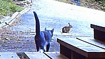 Domestic Cat Hunts Young Rabbit