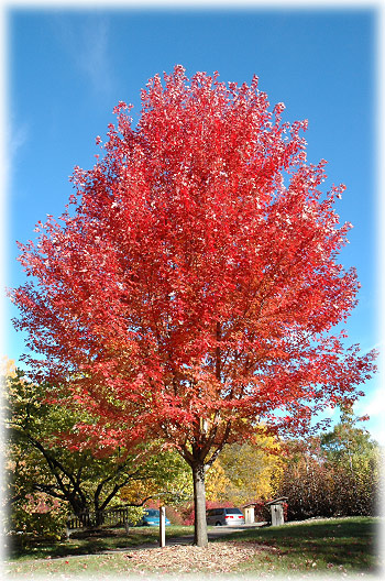 Autumn Blaze Maple Trees2