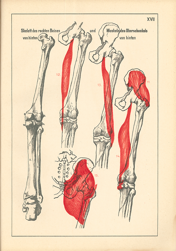 Großzügig Anatomie Des Menschlichen Beines Zeitgenössisch - Anatomie ...