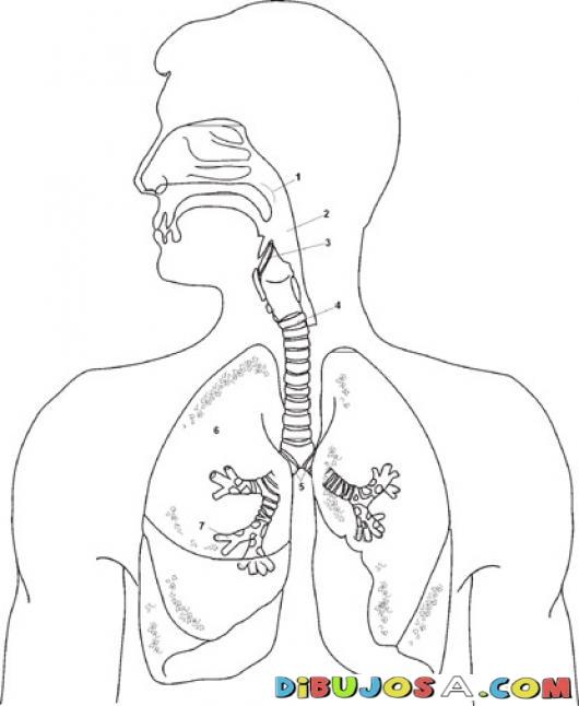 imagen sistema respiratorio para colorear | Edutech