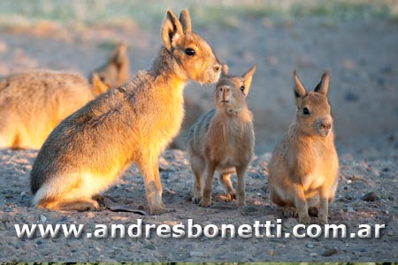 Mara - Patagonian Hare - Península Valdés - Patagonia - Andrés Bonetti