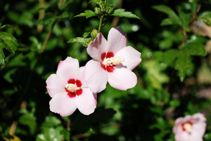 Il mondo in un giardino la pianta che ama il caldo for Ibisco in inverno