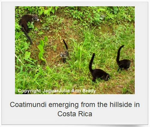coatimundi in costa rica by jaguarjulie