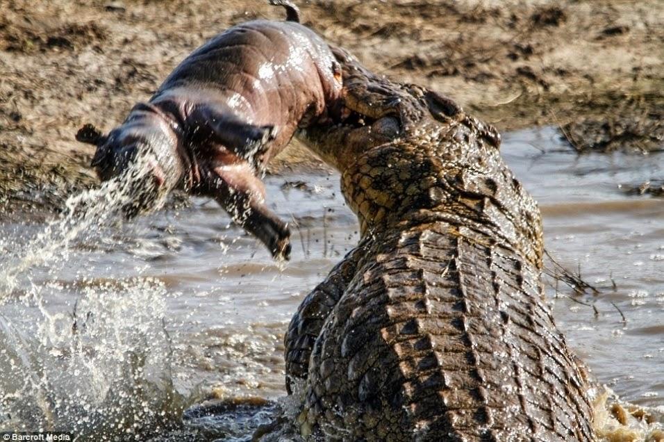 Com a presa entre os dentes, o crocodilo se debate para conter o pequeno animal