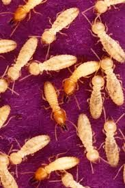 Gilbert termite control