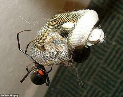 araña se come a una serpiente viva
