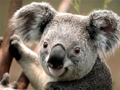معلومات جديدة عن حيوان الكوالا Koala-face-530x397