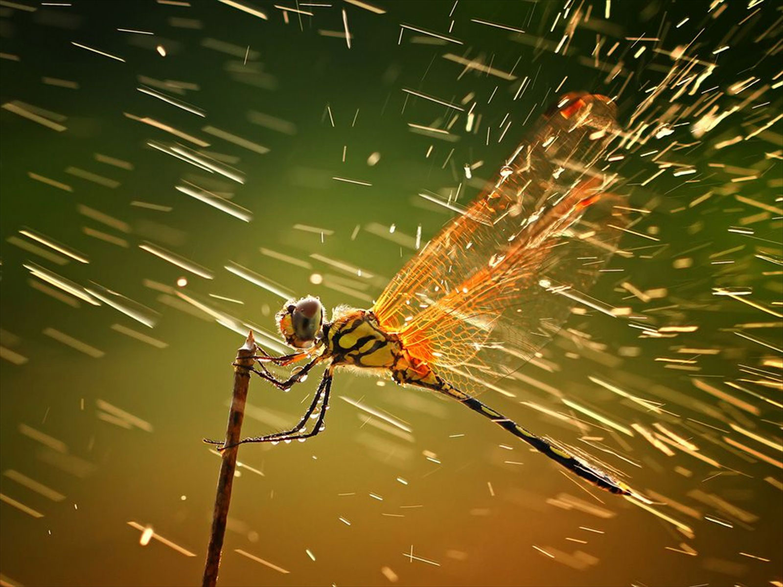Dragon Fly Rain Wallpaper