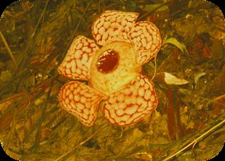 Great Rafflesia Azlanii Flower