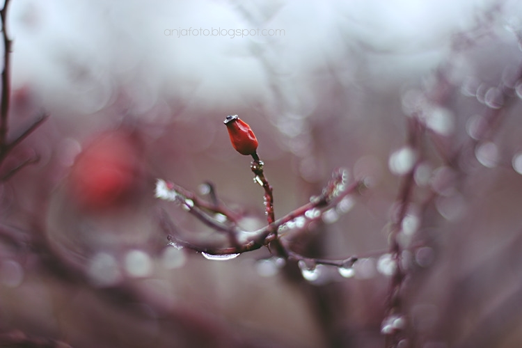 bokeh, bokeh photography, fotografia kropli, dzika róża, anjafotografia