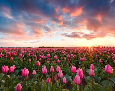 Campo de tulipanes - Tulips field