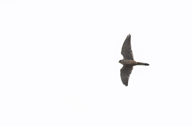 Common Kestrel over Manor Farm