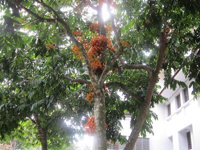 lonesome thing: Pokok yang cantik dan rare...