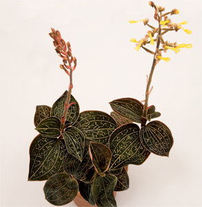 The Fern And Mossery Orchids For Terrariums Jewel Orchid